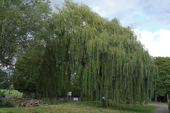 "The willow tree will not have works carried out ""in the very short term"" (Photo: Friends of Headstone Manor Park)"