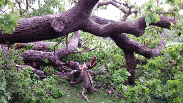 Harrow Times: The main trunk of the tree missed Kumar by inches as it came crashing down