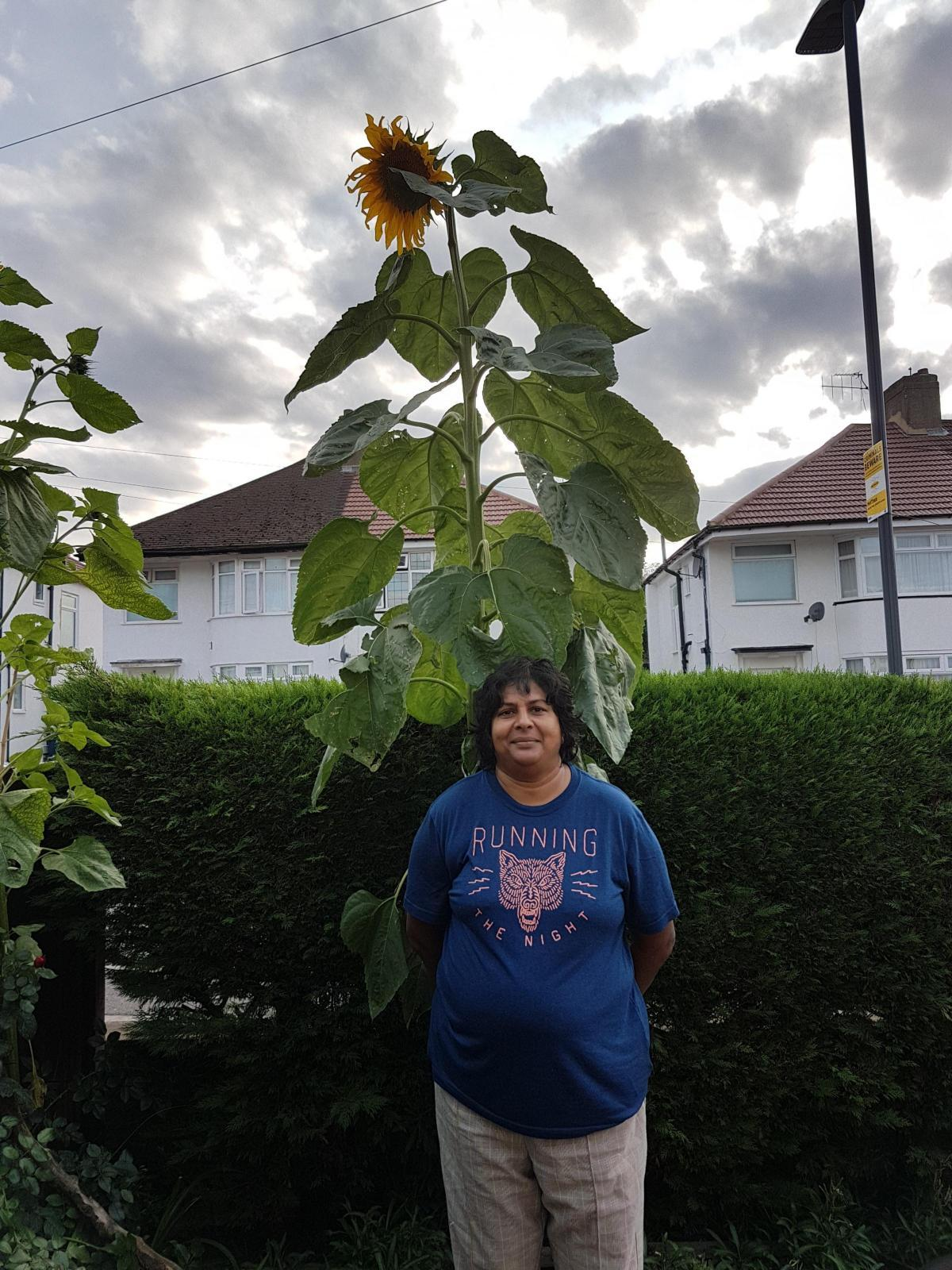 Janith Kamani's giant Mongolian sunflowers in her front garden